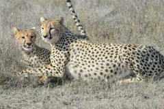 Two Cheetah (Acinonyx jubatus) on savanna, cleaning each other Royalty Free Stock Image
