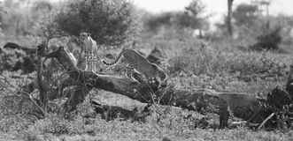 Two cheetah brothers climb on tree to look for prey. Two cheetah brothers climb on a tree to look for prey Stock Photography