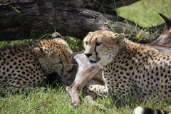 Two Cheetah Brothers Readying to Feast Stock Images