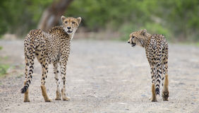 Two cheetah brothers walk in a road looking for prey Stock Photos