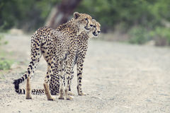 Two cheetah brothers walk in a road looking for prey. Two cheetah brothers walk in a road to look for prey Stock Images