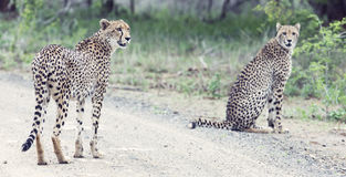 Two cheetah brothers walk in a road looking for prey. Two cheetah brothers walk in a road to look for prey Royalty Free Stock Photo