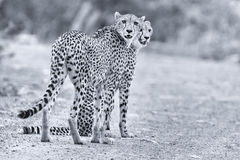 Two cheetah brothers walk in a road looking for prey Stock Images