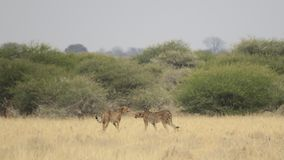 Two cheetah captured in grassland - Central Kalahari Game Reserve, BotswanA. Two cheetahs walking away from audience in grassland in Central Kalahari Game Stock Photography
