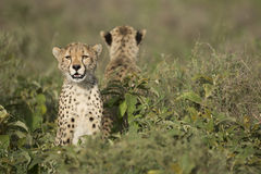 Two Cheetah cubs (Acinonyx jubatus) in Tanzania Stock Images
