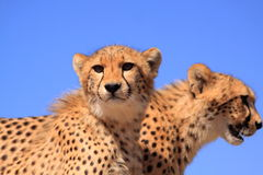 Two cheetah cubs blue sky royalty free stock images