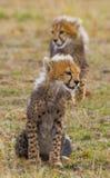 Two cheetah cubs go on savanna. Kenya. Tanzania. Africa. National Park. Serengeti. Maasai Mara. Stock Photo