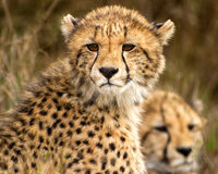 Two cheetah cubs in Phinda Royalty Free Stock Photography