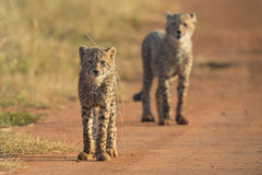 Two Cheetah cubs playing early morning in a road Royalty Free Stock Photo