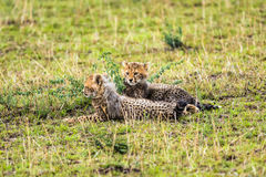 Two cheetah cubs relaxing on savannah Stock Images