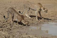 Two Cheetah drinking water Royalty Free Stock Image