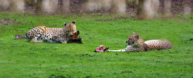 Two Cheetah eat meat Royalty Free Stock Photos