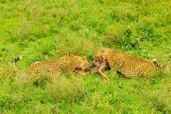 Two Cheetah eats Gnu stock images