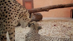 Two cheetah kiss. Cheetahs licking each other stock video footage