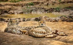 Two cheetah lying on ground. Two adult cheetah gepard lying on ground in zoo Stock Images