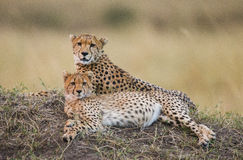 Two cheetah lying in the savanna. Kenya. Tanzania. Africa. National Park. Serengeti. Maasai Mara. Stock Image