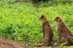 Two cheetah's in green vegetation Royalty Free Stock Photography