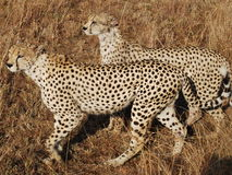 Two Cheetah's Hunting Stock Photography
