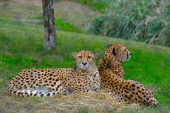 Two Cheetah sitting in the wild. Two yellow Cheetah sitting calmly in the wild on green grass Royalty Free Stock Photography