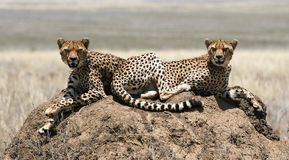 Two cheetahs. The cheetah (Acinonyx jubatus) is an atypical member of the cat family (Felidae) that is unique in its speed, while lacking strong climbing Stock Photos