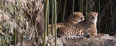 Two cheetahs. Couple of cheetah resting at edge of bamboo stand Royalty Free Stock Photos