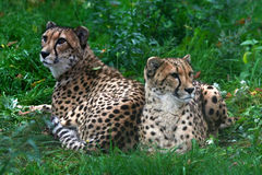 Two cheetahs. Who are becoming stupid from inaction Stock Photos