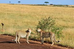 Two cheetahs. Stood on dirt track or road with grass in background, Masai Mara, Kenya, Africa Royalty Free Stock Image
