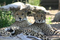 Two cheetahs. A two shot of cheetahs stock photo