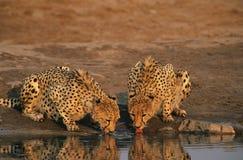 Two Cheetahs (Acinonyx Jubatus) drinking at waterhole Stock Image