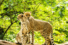 Two cheetahs Acinonyx jubatus. Royalty Free Stock Photos