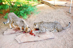 Two Cheetahs in in Captivity, Feeding Royalty Free Stock Image