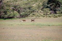 Two Cheetahs catching a Springbok. stock photo