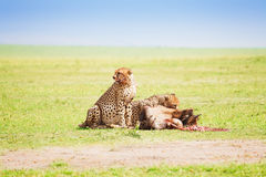 Two cheetahs eating the carcass of a wildebeest stock images