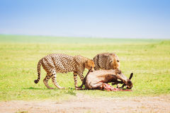 Two cheetahs eating kill at African savanna Stock Photos
