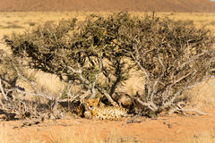 Two cheetahs in the Etosha National Park, Namibia Royalty Free Stock Photography