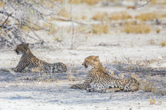 Two cheetahs in the Etosha National Park, Namibia Royalty Free Stock Images