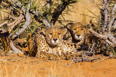 Two cheetahs in the Etosha National Park, Namibia Royalty Free Stock Images