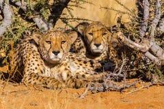 Two cheetahs in the Etosha National Park, Namibia Stock Photos