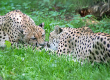 Two cheetahs fighting with piece of meat Acinonyx Jubatus Royalty Free Stock Image