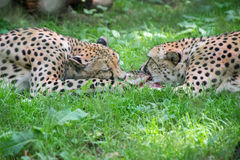 Two cheetahs fighting with piece of meat Acinonyx Jubatus Royalty Free Stock Photography