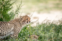 Two Cheetahs in the high grasses. Stock Photos