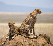 Two cheetahs on the hill in the savannah. Kenya. Tanzania. Africa. National Park. Serengeti. Maasai Mara. Royalty Free Stock Photo