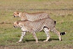 Two Cheetahs hunting Royalty Free Stock Photo