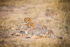 Two Cheetahs laying in the grass. Stock Images
