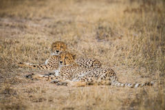 Two Cheetahs laying in the grass Royalty Free Stock Photography