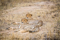 Two Cheetahs laying in the grass Stock Photography
