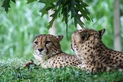 Two cheetahs lying in the grass stock image