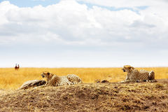 Two Cheetahs in Masai Mara Africa Royalty Free Stock Images