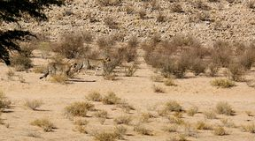 Two cheetahs moving in the arid landscape in the Kalahari Desert in the Kgalagadi Transfrontier Park b. These cheetah were fixated on potential prey while moving stock photo