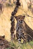 Two cheetahs near the tree. Kenya, Eastest Africa Stock Photo